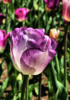 Photograph - Violet Tulip by Cate Franklyn