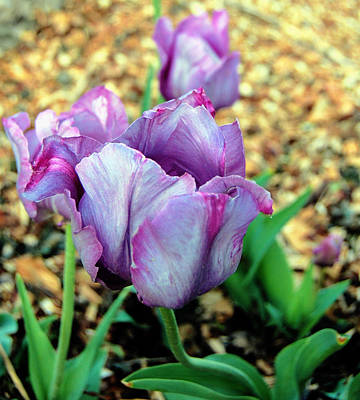 Photograph - Violet Tulips by Jame Hayes
