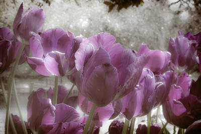 Photograph - Violet Tulips by Jill Smith