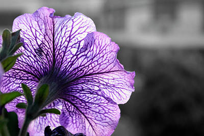 Photograph - Violet Veins by Sumit Mehndiratta