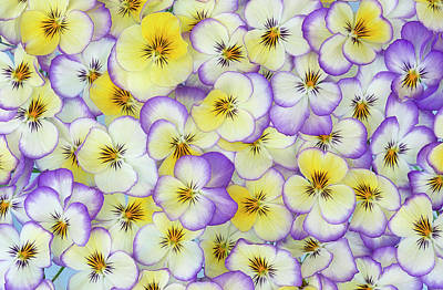 Photograph - Violet Flowers In White by Jan Vermeer