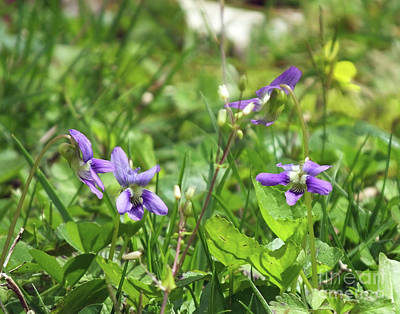 Photograph - Violets 1  Whitby by Lizi Beard-Ward