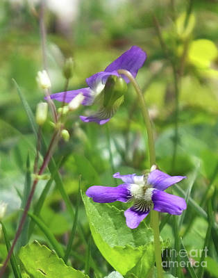 Photograph - Violets 2 by Lizi Beard-Ward