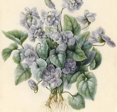 Flora Drawing - Violets  by Aline Corbin