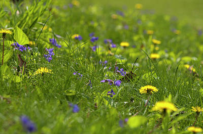Violets And Dandelions Art Print by Gary Chapple