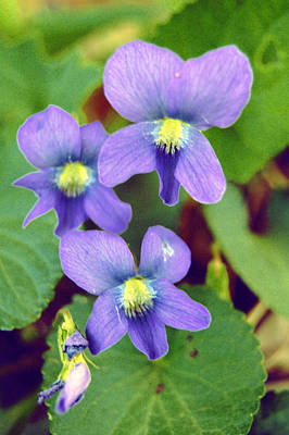 Photograph - Violets by Jame Hayes