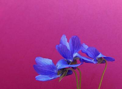 Photograph - Violets On Hot Pink by Barbara St Jean