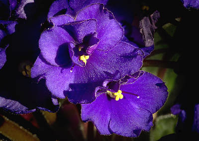 Art Print featuring the photograph Violets by Phyllis Denton