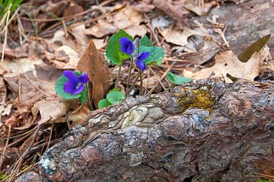 Photograph - Violets by Steve Stuller