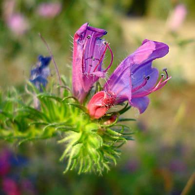 Photograph - Viper's Bugloss 1 - Echium Vulgare by Elena Schaelike