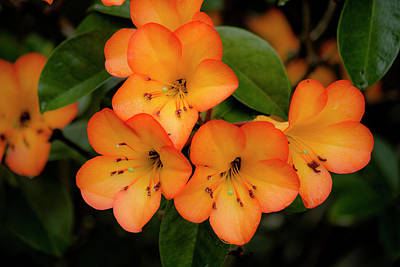 Photograph - Vireya Rhododendron 2 by Teresa Wilson