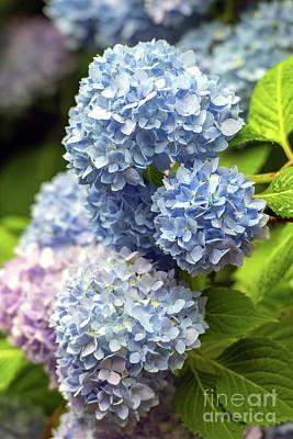 Lucille Ball - Virginia Blue 2662 by Terri Winkler