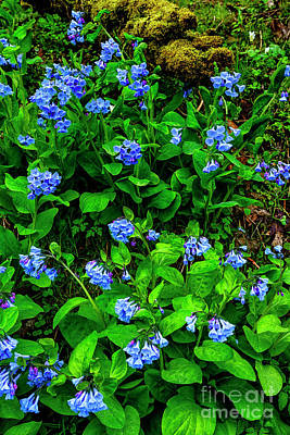 Photograph - Virginia Bluebells In Bloom by Thomas R Fletcher