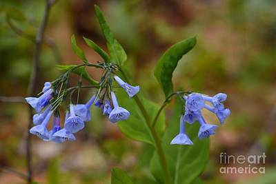 Photograph - Virginia Bluebells by Randy Bodkins