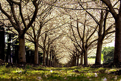 Photograph - Virginia Cherry Blossoms by Pete Federico
