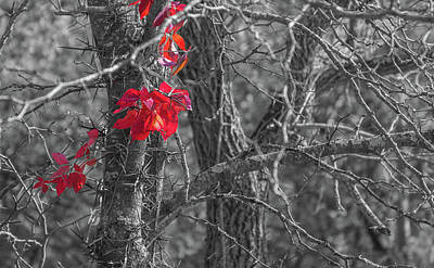 Fall Colors Photograph - Virginia Creeper by Art Of Frozen Time