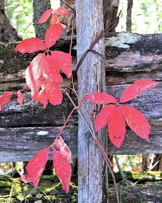 Photograph - Virginia Creeper On A Rail Fence by Valerie Kirkwood