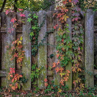 Photograph - Virginia Creeper On Old Fence - Fall 7r2_dsc2060_16-10-30 by Greg Kluempers