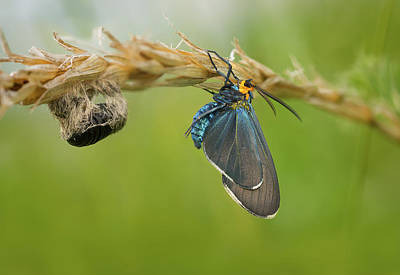 Photograph - Virginia Ctenucha Moth With Cocoon by Peter V Quenter