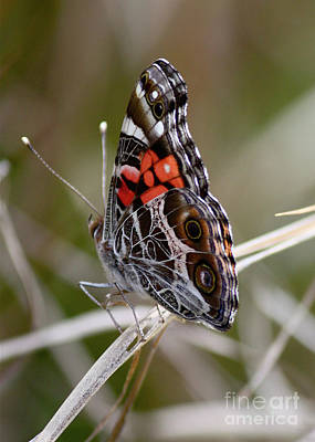 Lady Butterfly Photograph - Virginia Lady Butterfly Side View by Carol Groenen