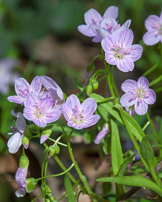 Photograph - Virginia Spring-beauty Dspf0327 by Gerry Gantt