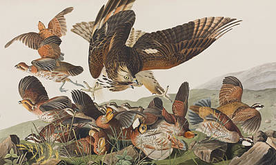 Action Drawing - Virginian Partridge by John James Audubon
