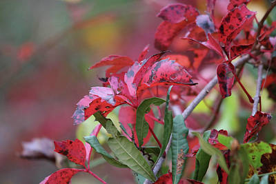 Photograph - Viriginia Creeper Parthenocissus Quinquefolia by Captain Debbie Ritter