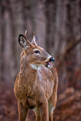 Photograph - Visiting Buck by Karol Livote
