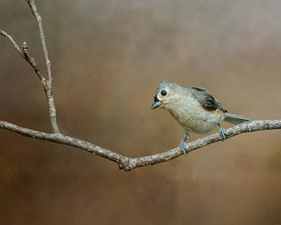 Tufted Titmouse Photograph - Visiting Tufted Titmouse by Jai Johnson