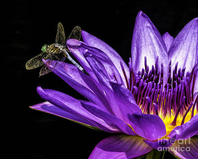 Photograph - Visitor On The Water Lily by Nick Zelinsky