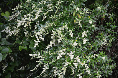 Chaste Photograph - Vitex Chaste Blooming  by Ruth Housley