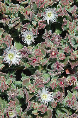 Photograph - Vivacity 3 - Tenerife Ice Plant by Robert Schaelike