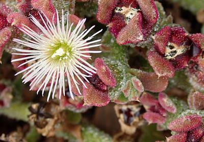 Photograph - Vivacity 4 - Tenerife Ice Plant - Mesembryanthemum Crystallinum by Elena Schaelike