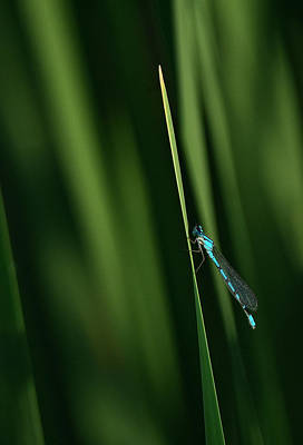 Photograph - Vivid Dancer Damselfly by Rick Mosher