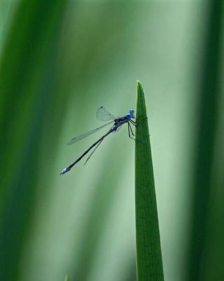 Photograph - Vivid Dancer Dragonfly by Ben Upham III