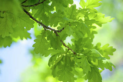 Photograph - Vivid Greenery Of Oak Tree Leaves by Jenny Rainbow