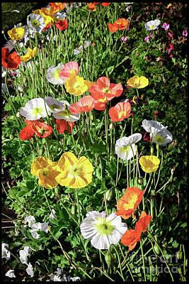 Photograph - Vivid Mix Of California Poppies by Gabriele Pomykaj