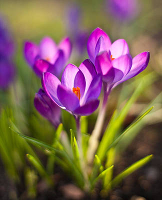 Crocus Flowers Photograph - Vivid Petals by Mike Reid