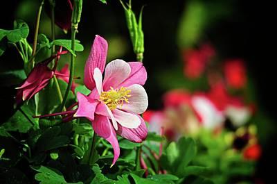 Photograph - Vivid Pink Columbine by Lynn Bauer