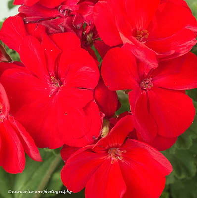 Photograph - Vivid Red by Nance Larson