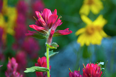 Photograph - Vivid Sun-kissed Indian Paintbrush by Cascade Colors