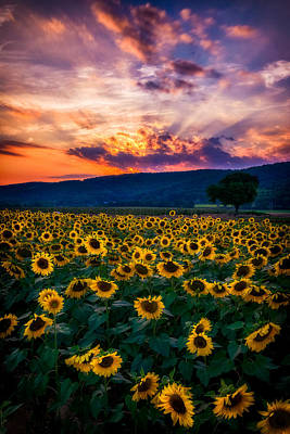 Photograph - Vivid Sunset Sunflowers by Mark Robert Rogers