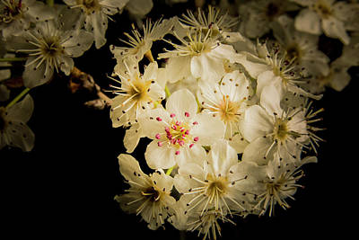 Vivid Wild Plum Blooms 5536.02 Art Print by M K  Miller
