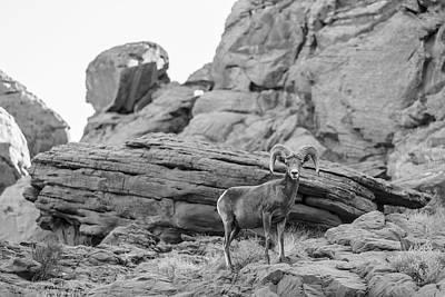 Photograph - Valley Of Fire Bg Horn Sheep by John McGraw