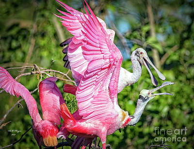 Photograph - Vocal Roseate Spoonbill Mates by Bill And Deb Hayes