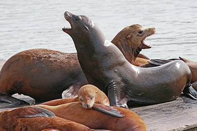 Photograph - Vocal Sea Lions by Shoal Hollingsworth