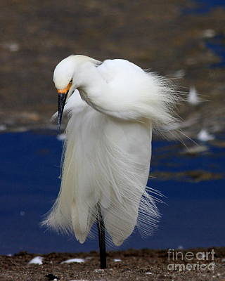Egret Photograph - Vogue by Wingsdomain Art and Photography