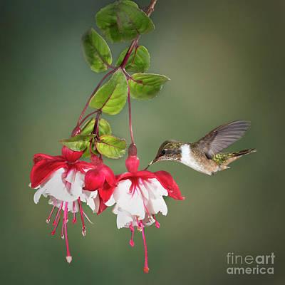 Soap Suds - Volcano Hummingbird by Linda D Lester