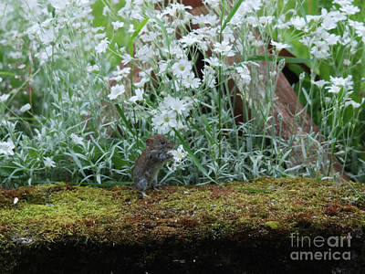 Photograph - Vole  - Snow In Summer by Phil Banks