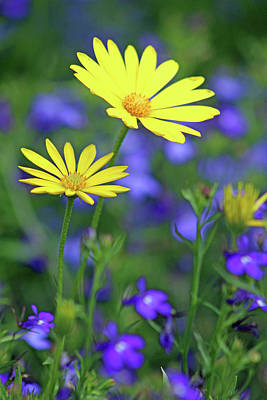 Photograph - Voltage Yellow And Electric Blue 04 by Pamela Critchlow